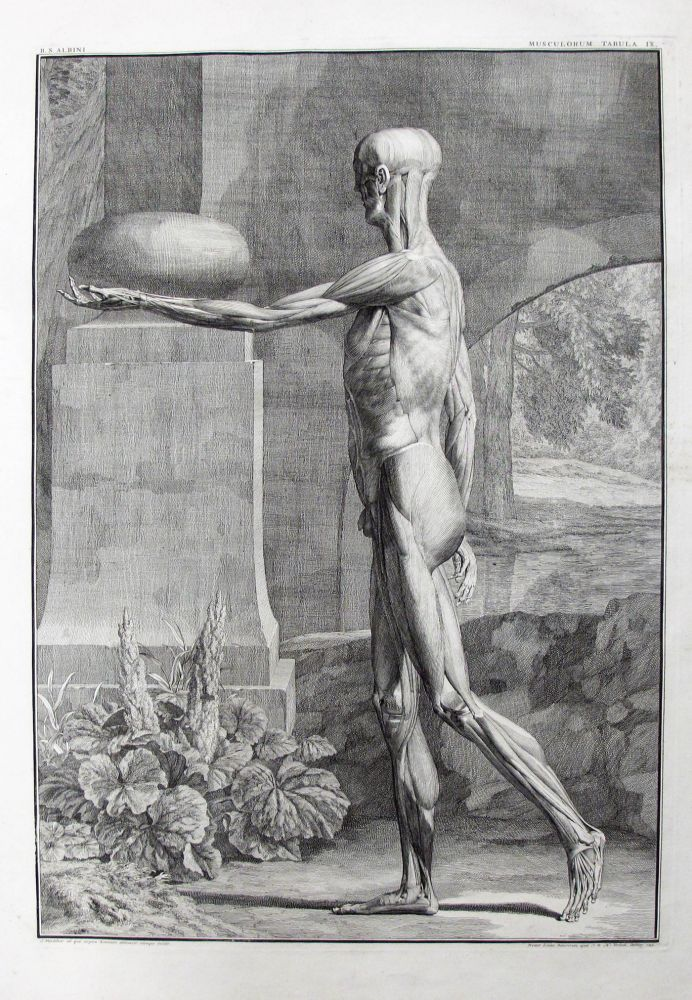 A Single Plate, Musculorum. Anatomy, Medicine, Anatomical Plate, Bernhard Siegfried Albinus, Jan...