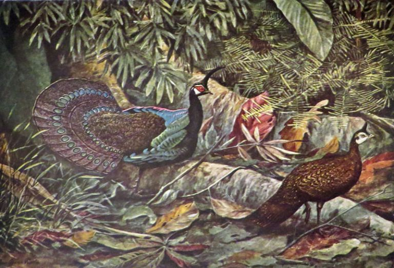 PHEASANTS THEIR LIVES AND. William Beebe